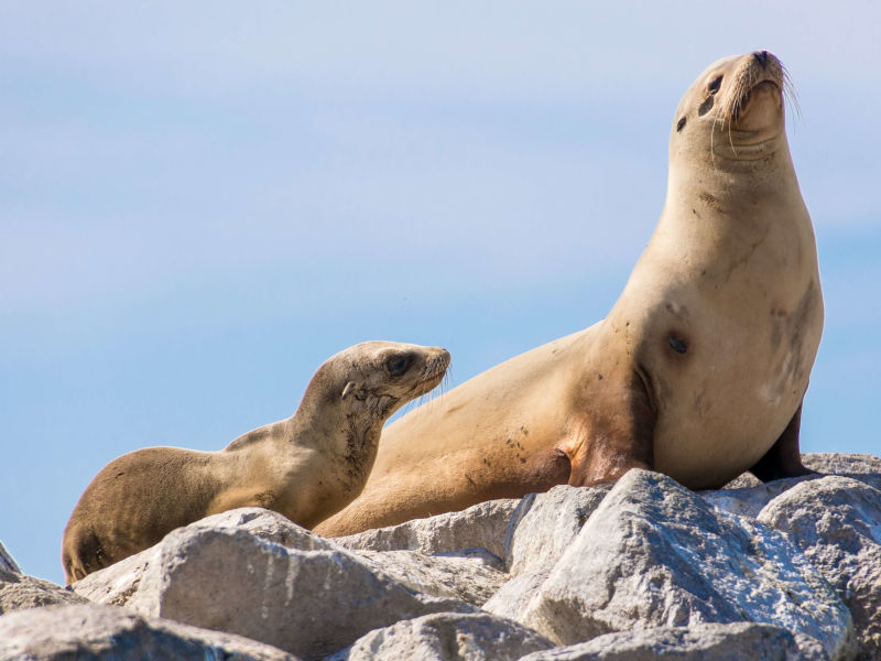 Sea Lion and Pup on the Rocks at Moss Landing