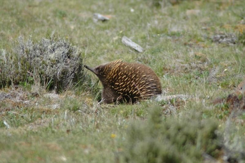 Short-beaked Echidna at Cradle Mountain