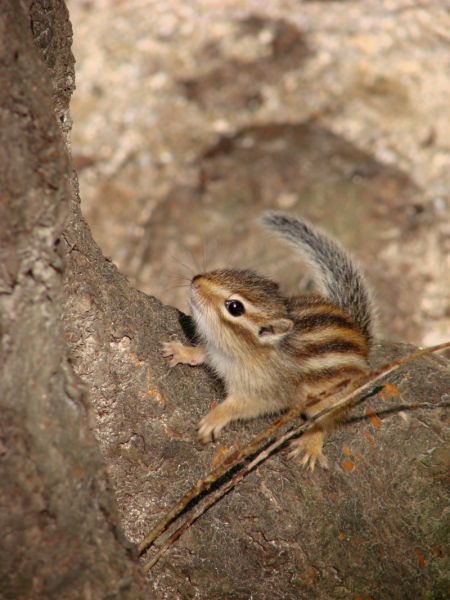 Siberian chipmunk in Korea