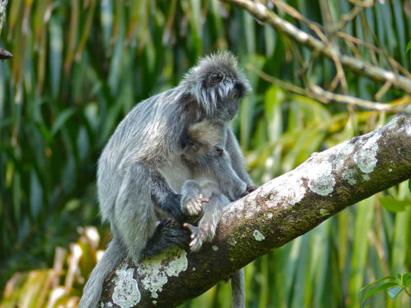 Silvered Leaf Monkeys (Trachypithecus cristatus) female and young