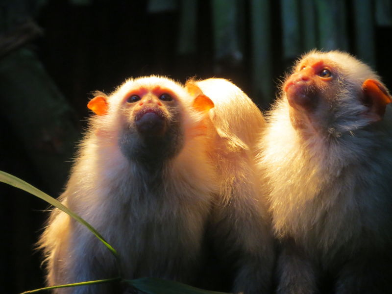 Silvery marmosets