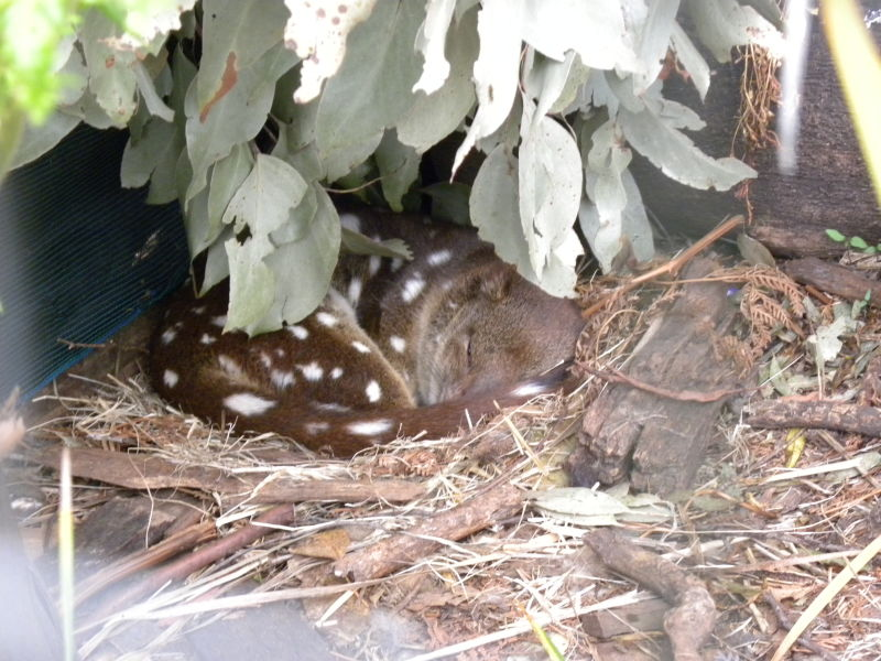 Sleepy Spot-tailed Quoll