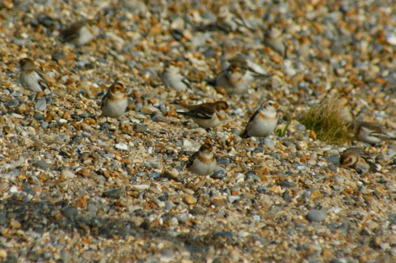 snow buntings blending into the shingle bank