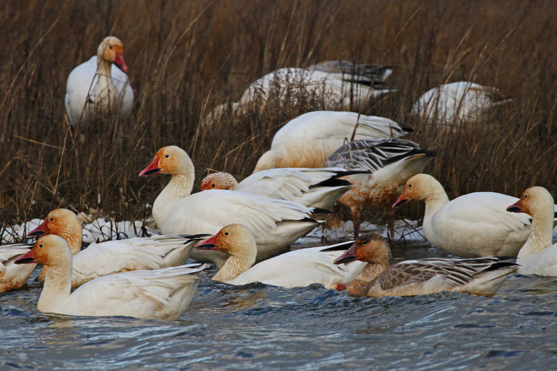Snow Geese - Chen caerulescens, Chincoteague National Wildlife Refuge, Chincoteague, Virginia
