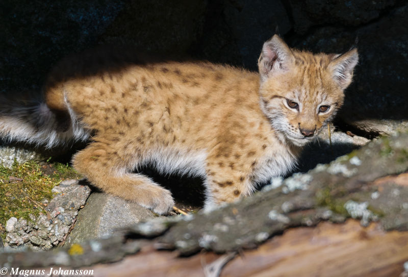 So cute Eurasian Lynx in Swedish