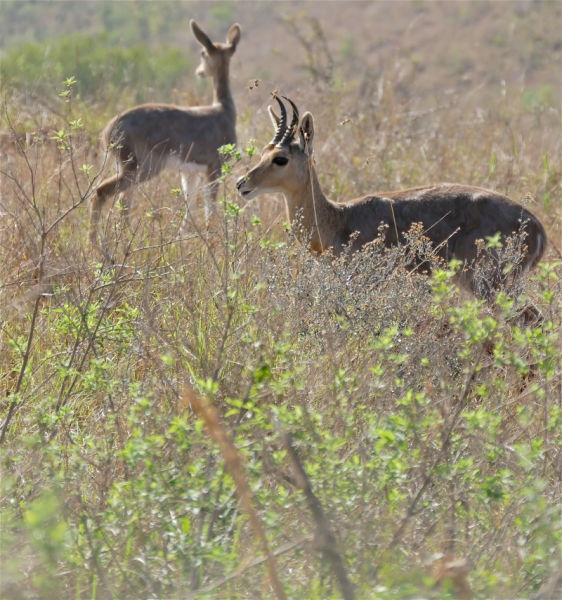 Southern Mountain Reedbucks (Redunca fulvorufula) male and female ...