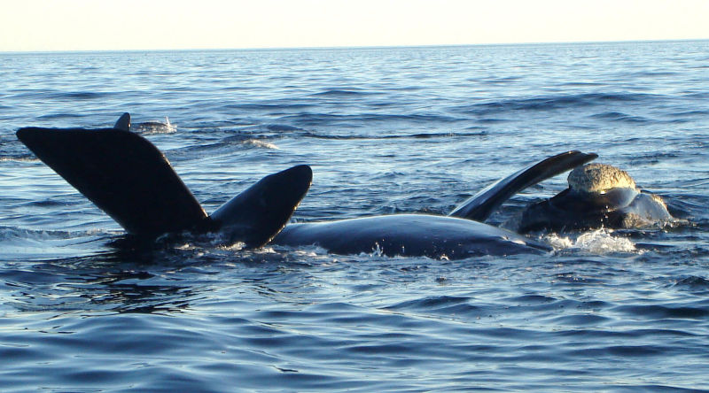 Southern Right Whales mating.