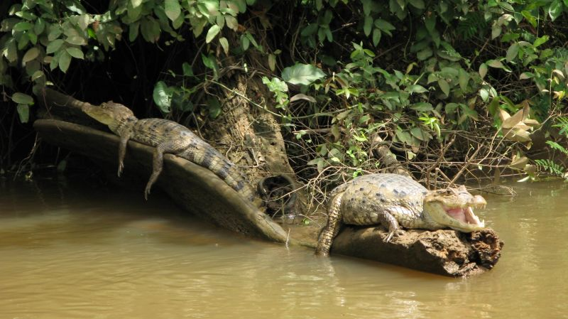 spectacled caimans (Cano Negro)