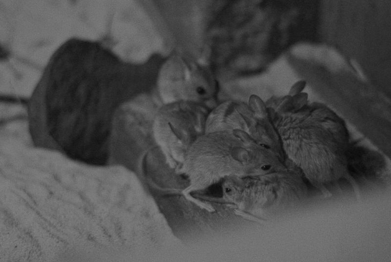 Spinifex hopping mice in a huddle