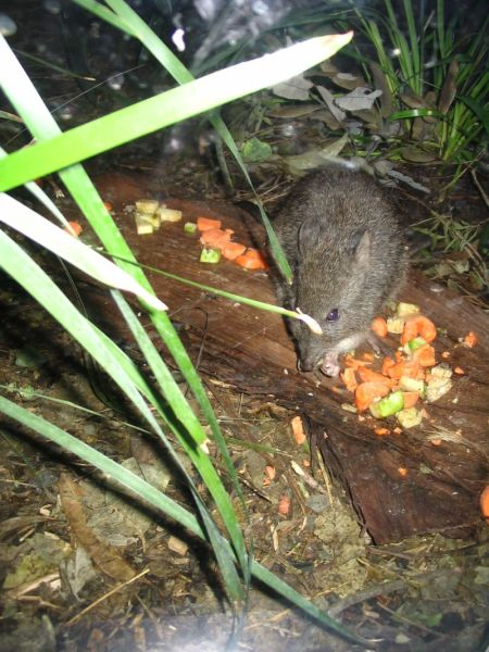 Spinifex Hopping Mouse eating at Sydney Wildlife World 1