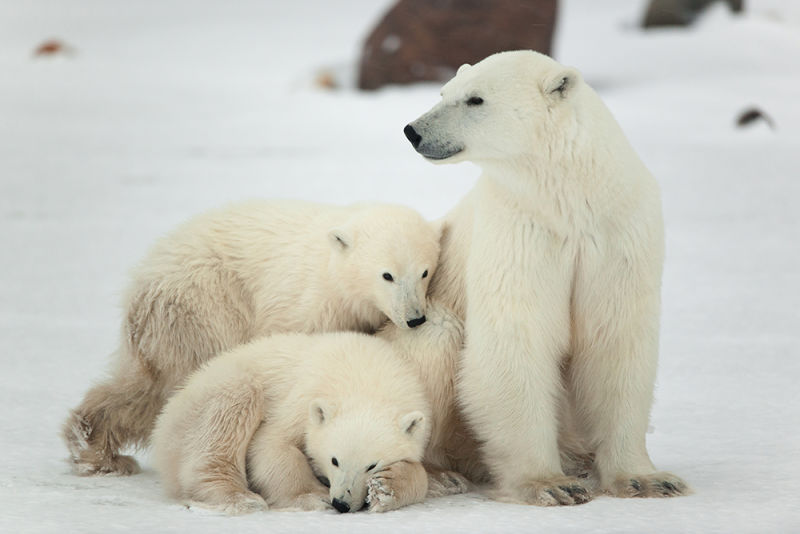 Spitsbergen and Polar Bear