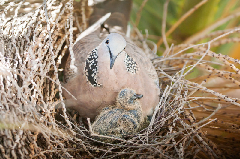 Spotted dove and nestling, 5 days old
