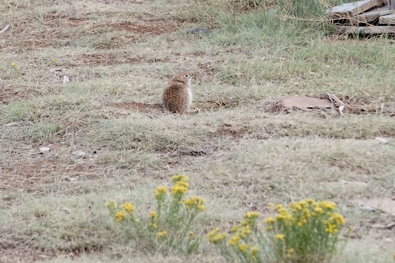 Spotted Ground Squirrel