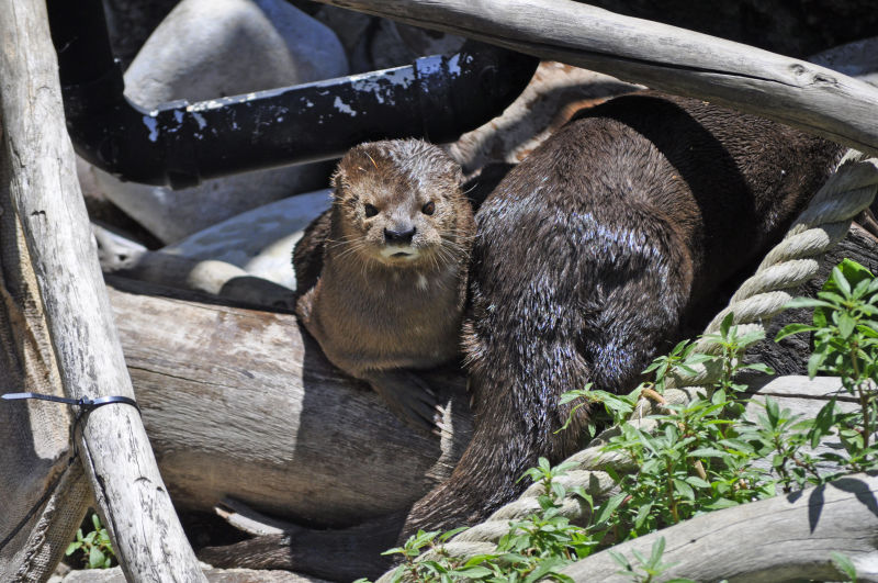 Spotted-necked Otter (Hydrictis maculicollis)