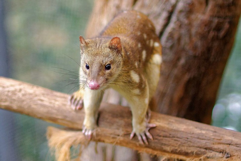 Tiger Quoll photo