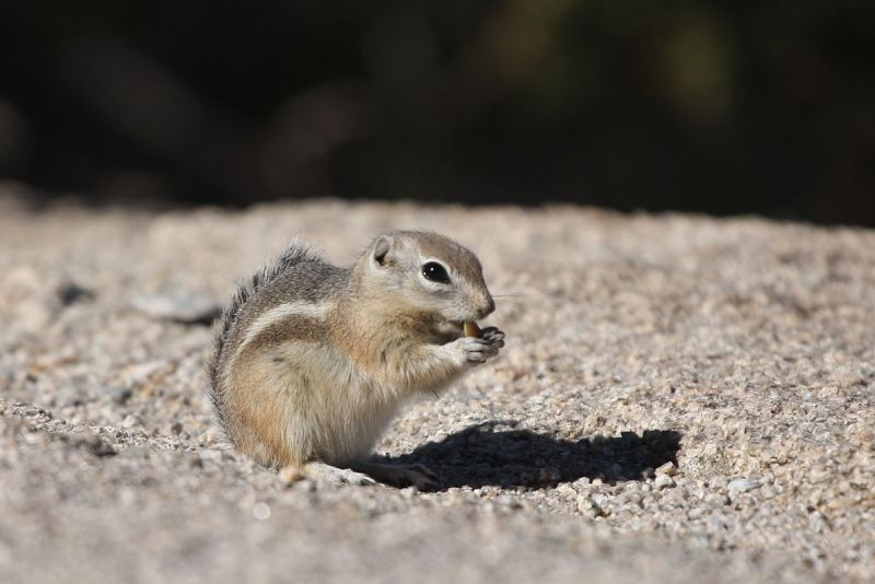 White-Tailed Antelope Squirrel photo