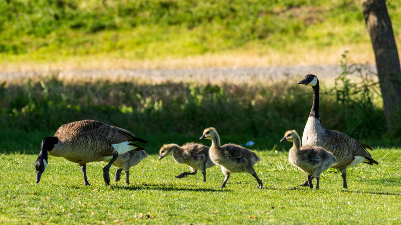 Spring Geese and Goslings at Shoreline Park