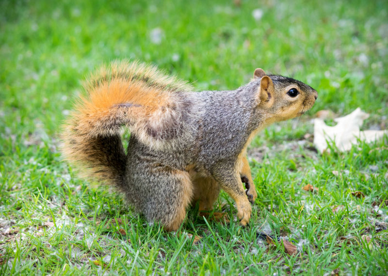 Squirrel III