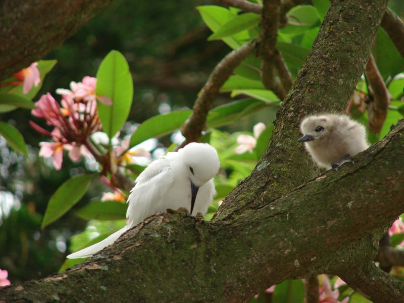 starr-080607-7127-Plumeria_rubra-flowers_with_white_tern_chick_and_parent_napping-Midway_House_Sand_Island-Midway_Atoll