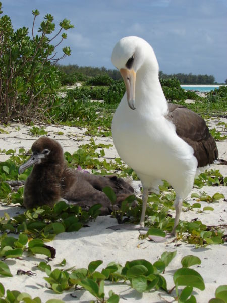 starr-080608-7787-Ipomoea_pes_caprae_subsp_brasiliensis-habit_with_Laysan_albatross-Rusty_Bucket_Sand_Island-Midway_Atoll