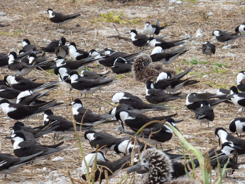 starr-150403-0287-Brassica_juncea-Sooty_Terns_and_Laysan_Albatrosses-Southeast_Eastern_Island-Midway_Atoll