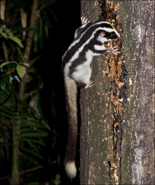 Striped Possum (Full Tail View)- Dactylopsila trivirgata