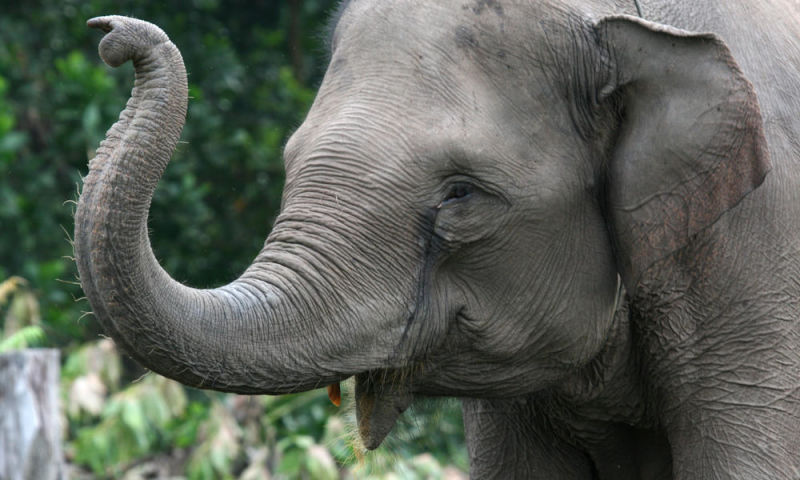 Sumatran elephant in Tesso Nilo National Park, Indonesia