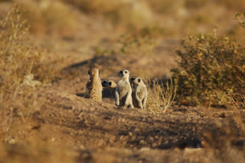 Suricates, Namibia