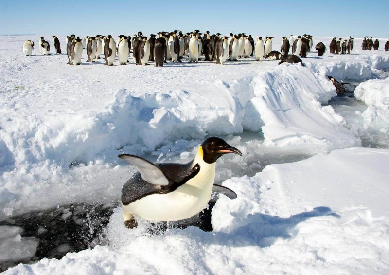 Surprised to see me.  #emperor penguin