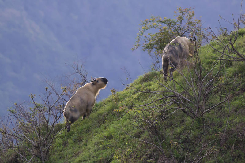 Takin, Tangjiahe Nature Reserve, Sichuan, China