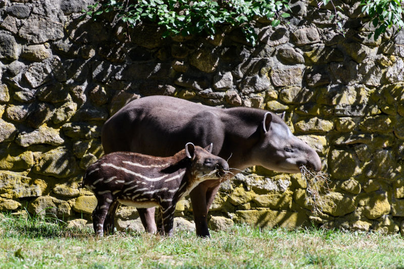 Tapir Calf Eating Hay with Mom