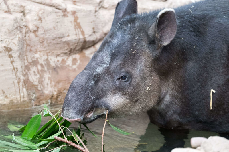 Tapir Eating in the Water