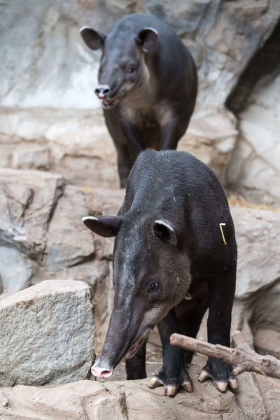 Tapir Pair on Terraced Rocks