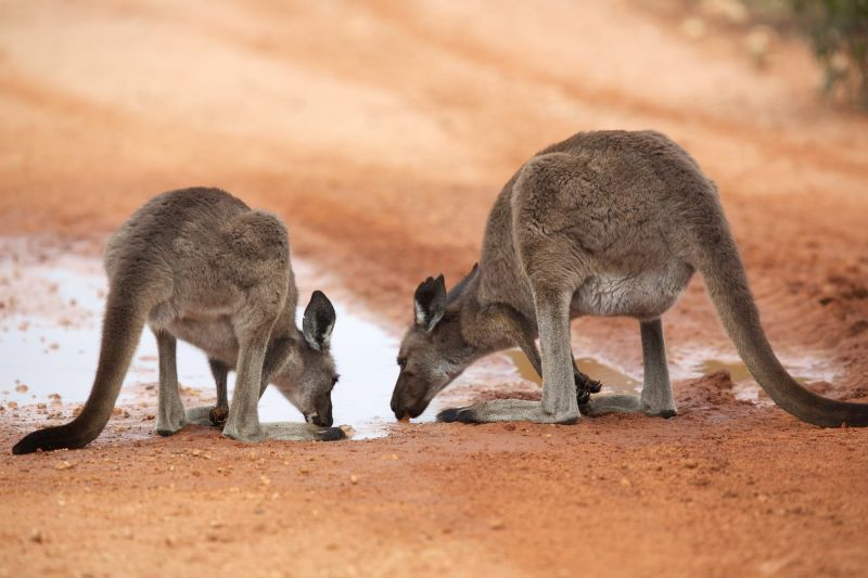 thirsty roos