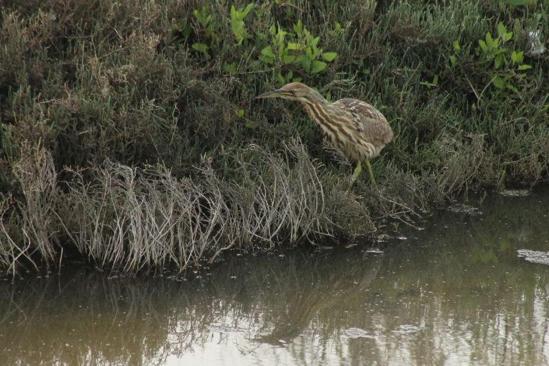This American Bittern seen foraging at the forebay in Mountain view was a lucky treat