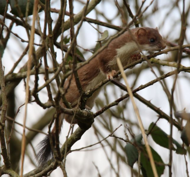 tree climbing stoat