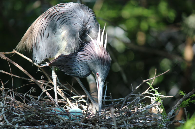 Tricolored Heron on Nest