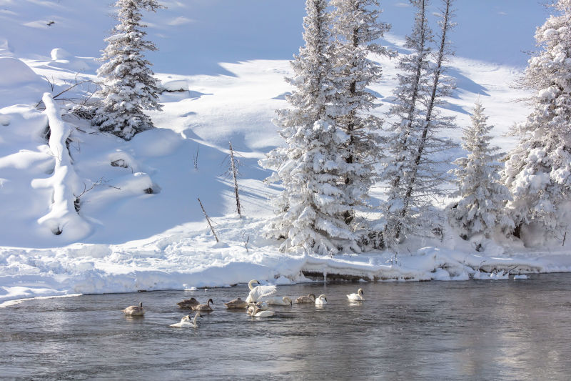 Trumpeter Swans on the Madison River