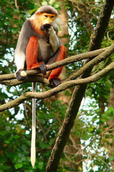 Red-Shanked Douc photo