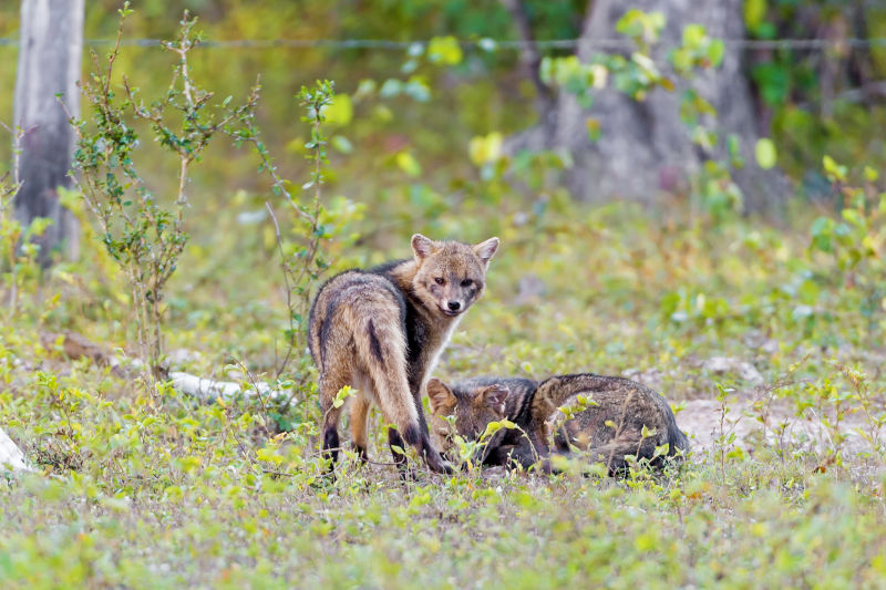 Two crab-eating foxes in the grass