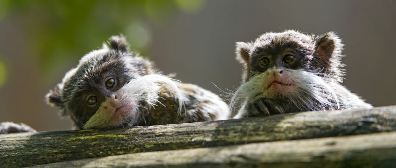 Two cute emperor tamarins
