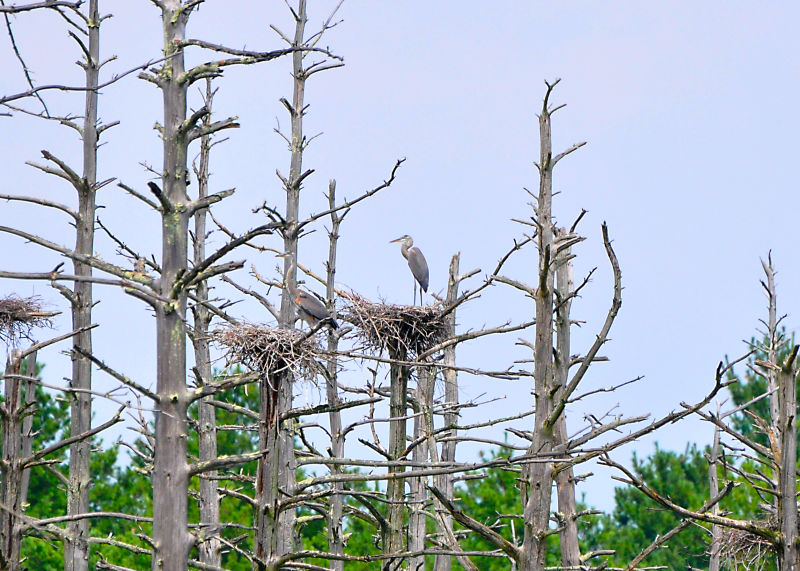 Two Great Blue Herons in Nests