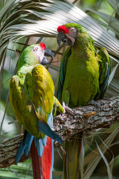 Two great green macaws again