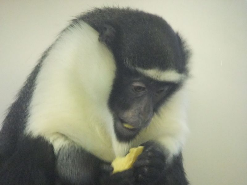 Twycross Zoo - Roloway Monkey