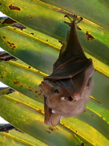 Wahlberg's Epauletted Fruit Bat photo