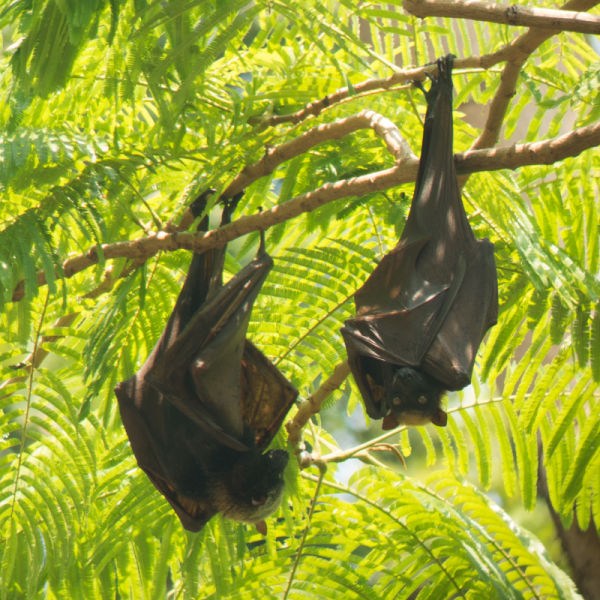 Upside down cute Flying Foxes