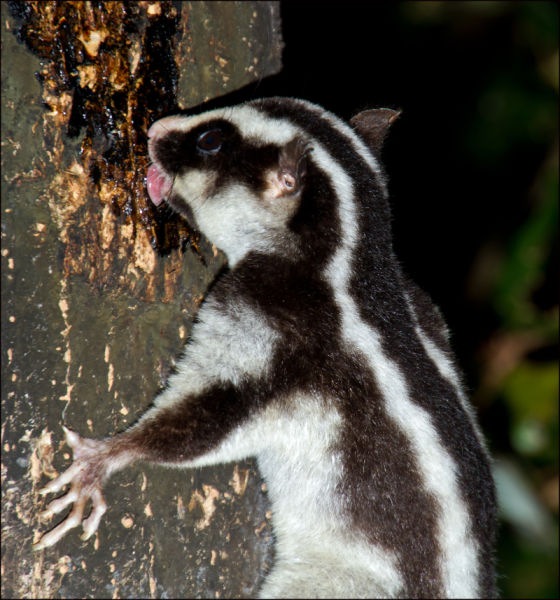 Upside Down Striped Possum - Dactylopsila trivirgata