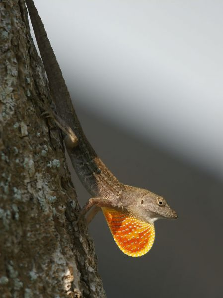 Brown Anole photo