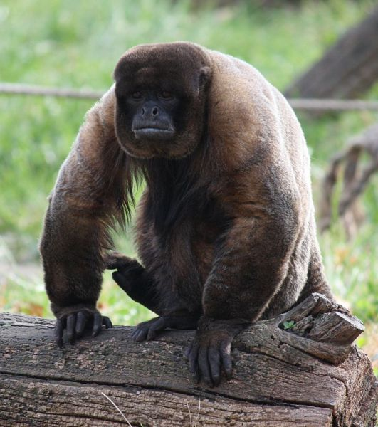 Brown Woolly Monkey photo