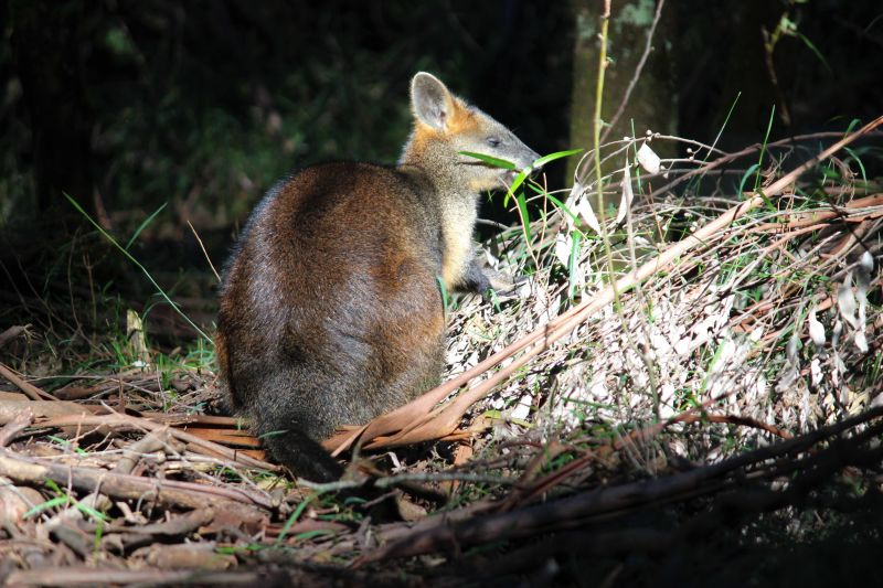Wallaby in Sherbrooke Forest 2